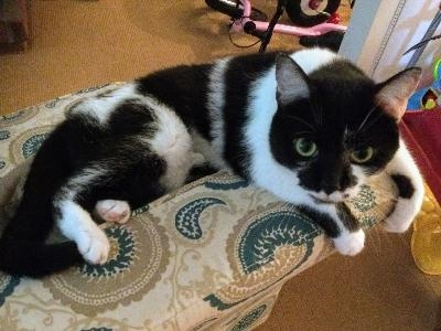 Lost Black & White Cat - Squirrel Hill