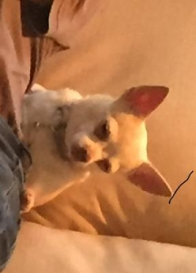 Lost Chihuahua, 6/24/18